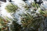Hoar Frost on Pinon Needles