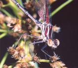 Damsel fly along the Middle Fork River