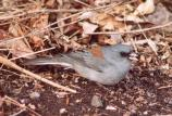Gray-headed Junco, a winter resident of area.