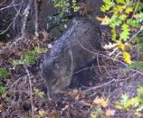 Javalina (Collared Peccary) rooting near the bridge in the park.