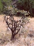 A Cholla catus with yellow fruit