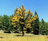 A Gambels' Oak tree in fall colors in the Gila Wilderness