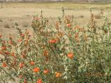 Globemallow, a common wildflower.