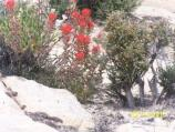 Indian Paintbrush, a wildflower.