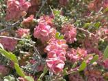 Red Shadscale (saltbush), a wildflower.