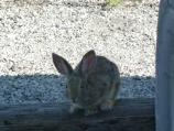 Cottontail near the Employee parking lot.