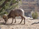 Bighorn Ram in the canyon
