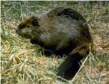 Beaver is North America's largest rodent. Adults can be up to four feet long and weigh more than 60 pounds.