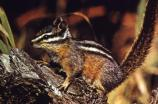 Yellow Pine Chipmunks are brightly colored with stripes on their head and body.