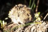 The meadow vole is active at night, and rarely during the day.