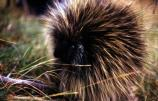 The most recognizable feature of the porcupine is its quills. They may have as many as 30,000 quills. The quills are hairs with barbed tips on the ends.