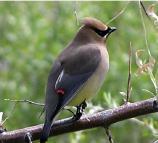 Waxwings are attracted to the sound of running water, and love to bathe and drink from shallow creeks. They live in open woodlands, orchards and residential areas, especially those with fruit-bearing trees and bushes.