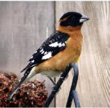 The Black-headed Grosbeak likes to be in areas where there are large trees as well as thick bushes, including streamside corridors, river bottoms, and wetlands.