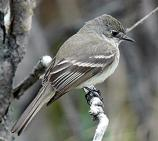 The Willow Flycatcher is a small insect-eating bird. They like deciduous thickets, especially willows and often near water.
