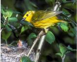 Yellow Warblers like willow-lined streams, edges of marshes, farmlands, and forest edges.