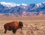 Bison, Dunes, and Sangre de Cristo Mountains