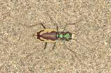 The Great Sand Dunes Tiger Beetle is a beautifully patterned insect that is endemic to Great Sand Dunes. View them in the warmer months, but look quickly as they are fast!