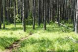 Pine Trees lining a hiking trail.