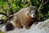 Closeup of a Yellow-Bellied Marmot.