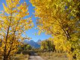 Cottonwood trees in fall color with the Grand Teton beyond.