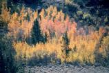 fall aspens and conifers on hillside