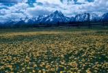 field of spring flowers looking toward Teton Range