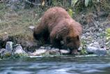 Cinnamon-colored black bear drinking from river