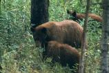 cinnamon-colored black bear sow & 2 cubs browsing