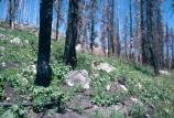 regrowth after fire, flowers and charred tree trunks