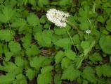 closeup of baneberry in bloom, white flowers