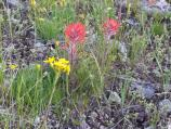 closeup Indian Paintbrush, red