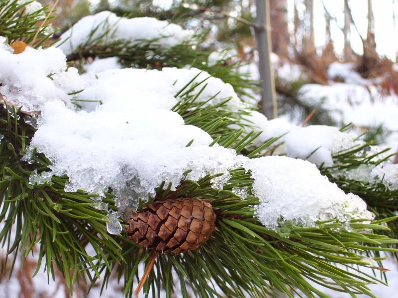 Lodgepole Pine bough with cone, snow covered