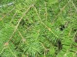 Douglas Fir, closeup of flat needles and twigs