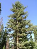 tall Engelmann spruce surrounded by other conifers