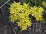 closeup of Lanceleaved Stonecrop, yellow flower