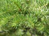 closeup of subalpine fir needles, short flat