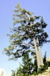 Whitebark Pine against sky