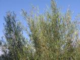 willows in summer, leafed out
