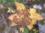 fall, yellow leaves and seeds from spirea with insects from above