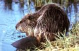Beaver next to pond