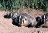 young badgers at den entrance