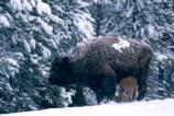 Bison cow and calf, spring snowstorm