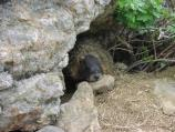 Yellow-bellied marmot resting under overhang, den