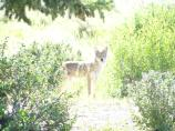 Coyote, Morning Sun, shrubs