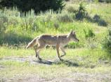 Coyote walking through grass & sagebrush