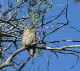 Great Horned Owl perched on dead limb