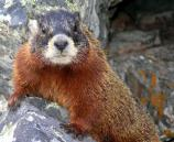 yellow-bellied marmot on rock, dark head, reddish body