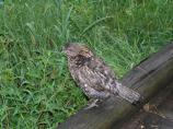 Ruffed Grouse, on log in rain