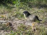 closeup of Uinta Ground Squirrel