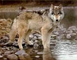 Wolf standing in water